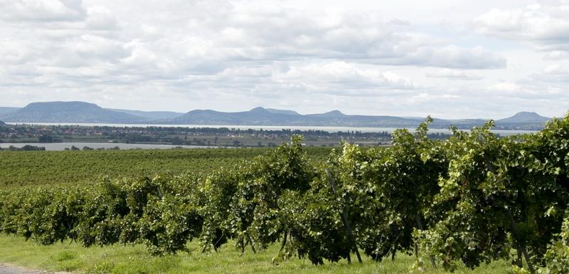 Balatoni szőlőültetvény