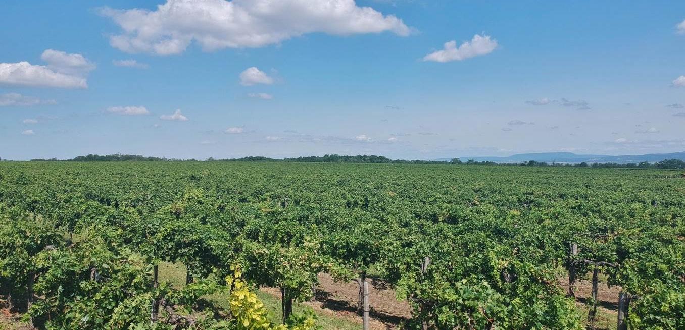 Törley szőlőültetvény
